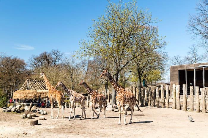giraffe zoo copenaghen